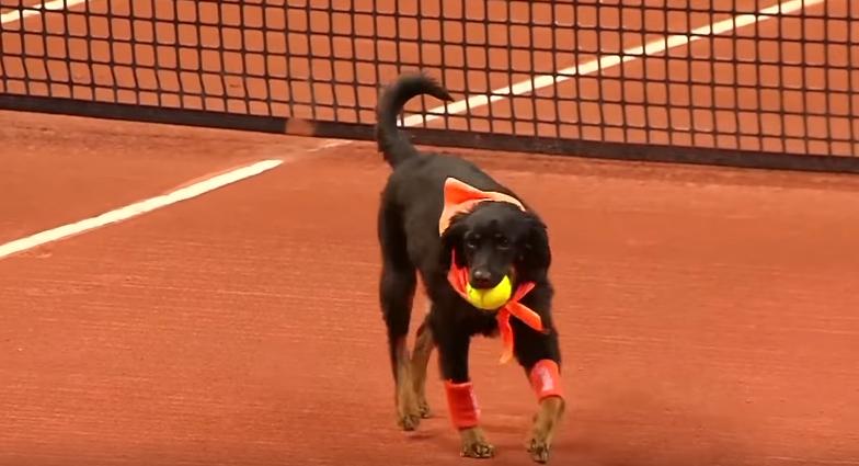 テニスの試合にボールドッグ登場!?元捨て犬がブラジルOPで大活躍 画像3