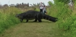 もはや恐竜にしかみえない! フロリダの巨大すぎるアリゲーターが話題に…!!