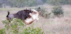 ライオン二頭に狩られたㇴ―、絶体絶命の大ピンチから火事場の馬鹿力を発揮する!!