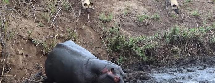 【衝撃の展開】リカオンの群れからアンテロープを救ったカバ、まさかの行動に出る……