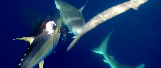 仕留めたマグロを狙ってくるサメ! 漁師、2匹のサメをナイフでブッ刺し追い払う!