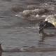 【衝撃映像】トムソンガゼルを襲うクロコダイルが化け物にしか見えない……