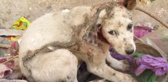 耳がちぎれかけたボロボロの子犬を救出! 恐怖・苦痛から回復を経て……