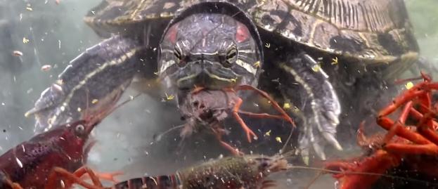 【閲覧注意】腹ペコのカメに大量のザリガニを与えたら凄惨な光景が……