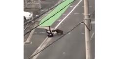 【衝撃】街に下りてきた野生のイノシシがサラリーマンを襲撃する瞬間……