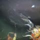 【貴重】深海を泳ぐ最大級の鮫「オンデンザメ」をカメラが捉えた瞬間!!